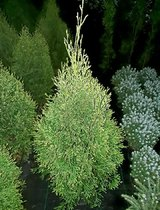 Туя смарагд - бял / Thuja smaragd ''Light''  70-80 см