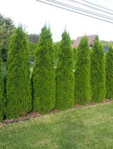 Туя Смарагд 90-100см / Thuja Occidentalis Smaragd / в саксия