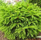 picea abies ''barryi''