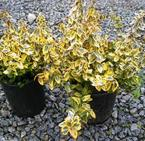 Евонимус фортунеи - Euonymus fortunei ' Emerald and Gold'